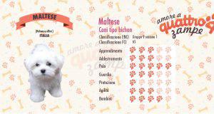 Maltese scheda razza