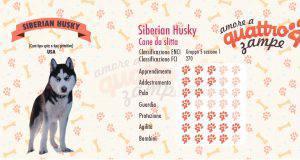 Siberian Husky scheda razza