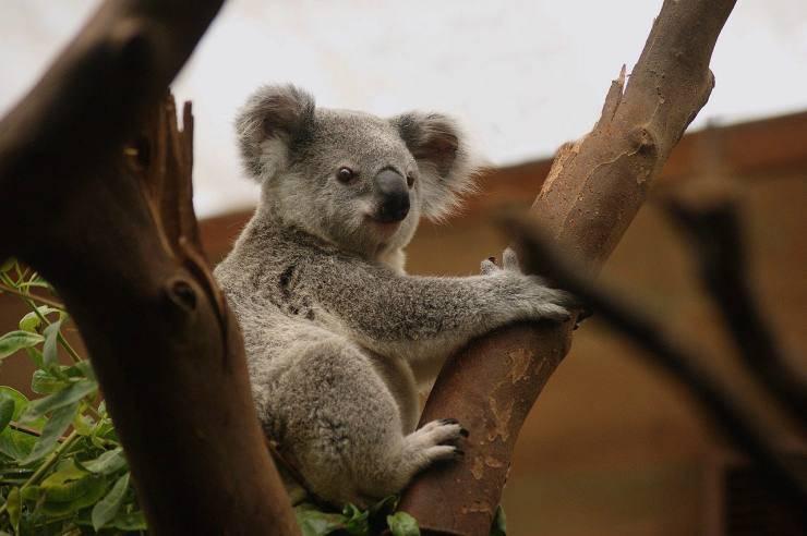 Koala tra i rami dell'albero (Foto Pixabay)