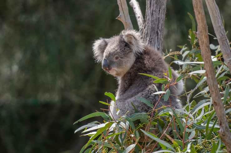 L'animale che adora stare sugli alberi (Foto Pixabay)
