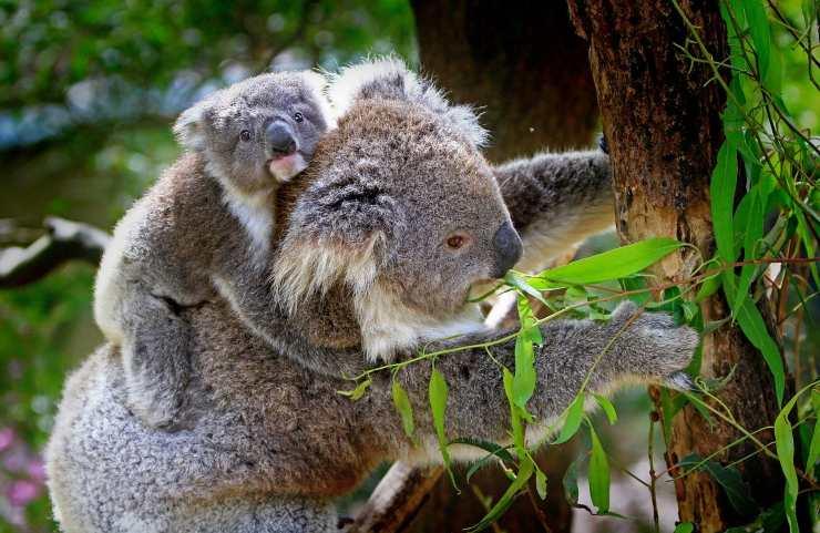 koala impronte digitali
