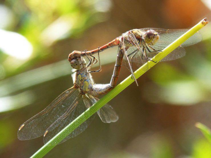 libellule riproduzione