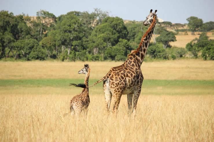 cuccioli di giraffa