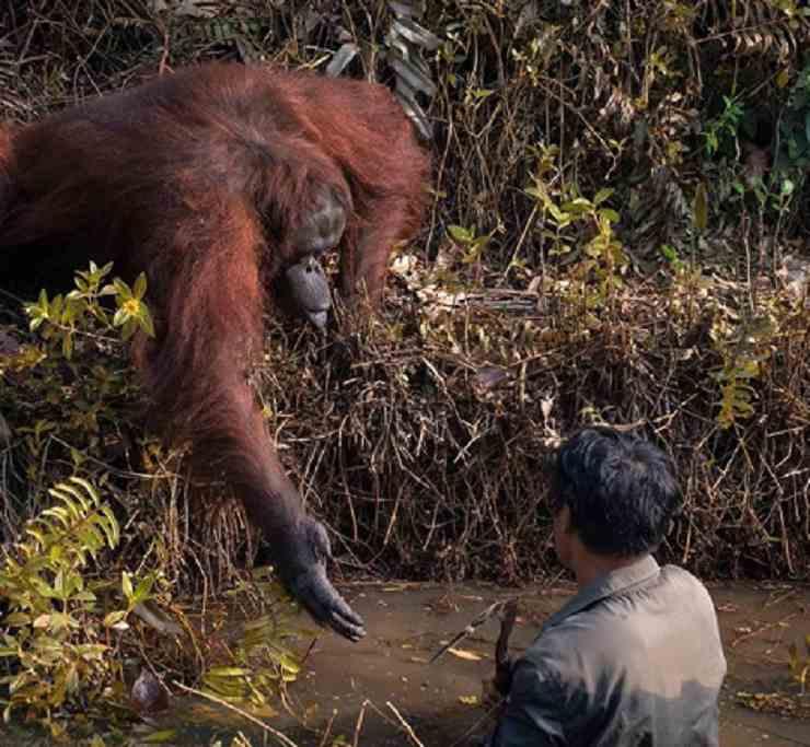 orangotango aiuta uomo