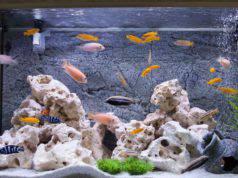 branchiomicosi nel pesce