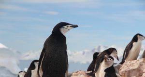 curiosita sui pinguini