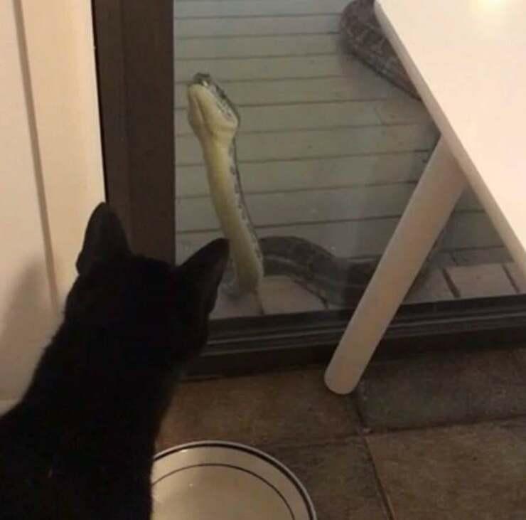 Pitone e gatto