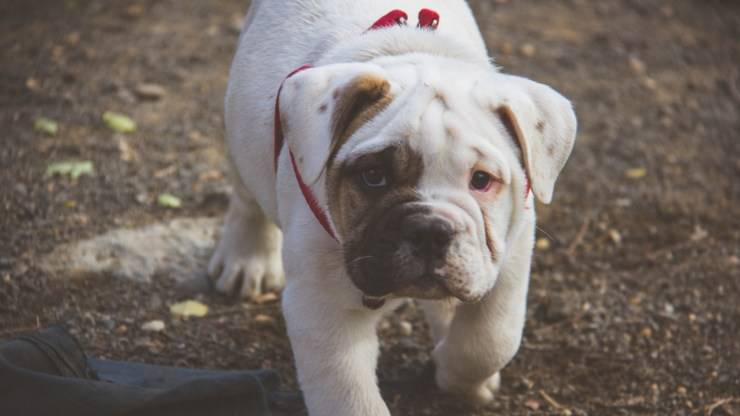bulldog inglese cucciolo english