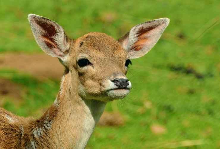 L'espressione del cervo (Foto Pixabay)
