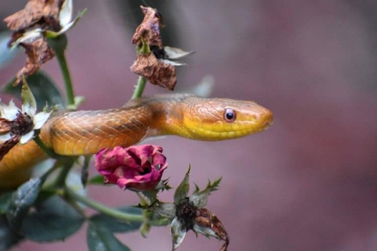 muta serpenti biacco