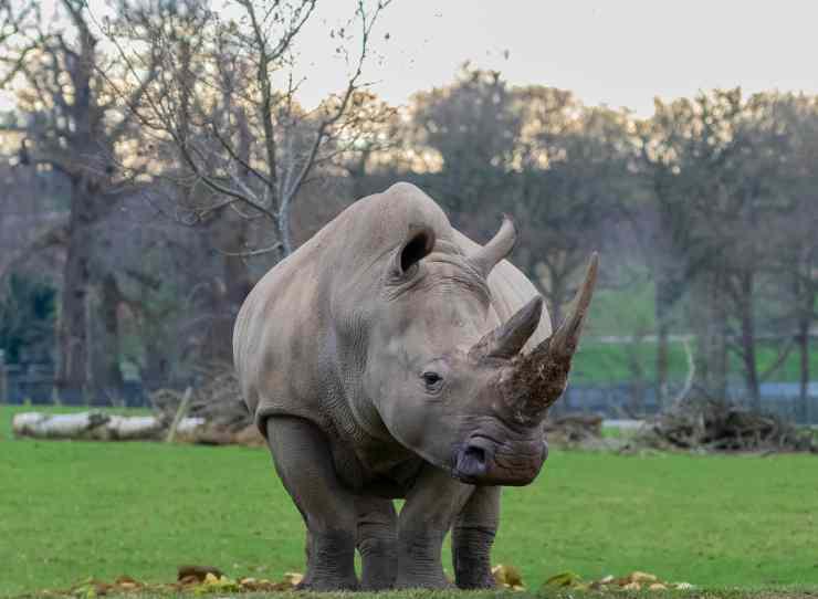 Rinoceronte a spasso (Foto Pixabay)