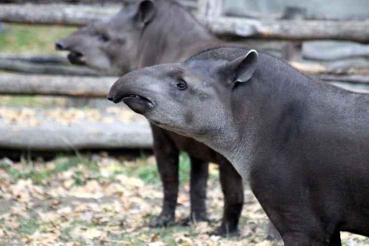 Il tapiro le caratteristiche (foto Pixabay)