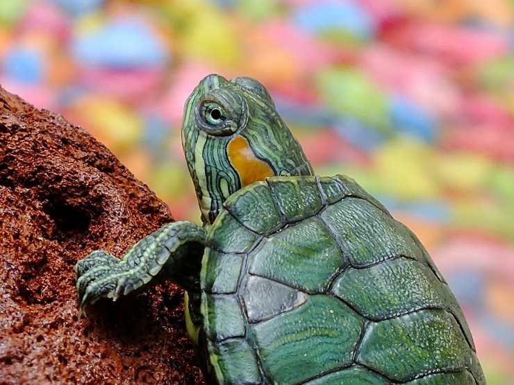 tartaruga quanto veloce