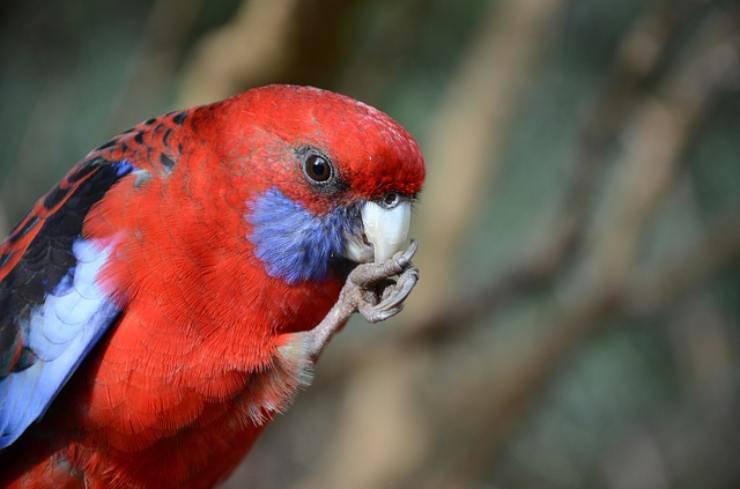 traumi del becco negli uccelli