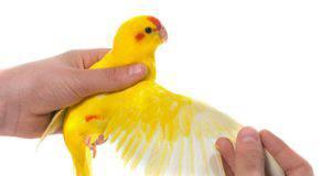 Come aiutare un uccello ferito