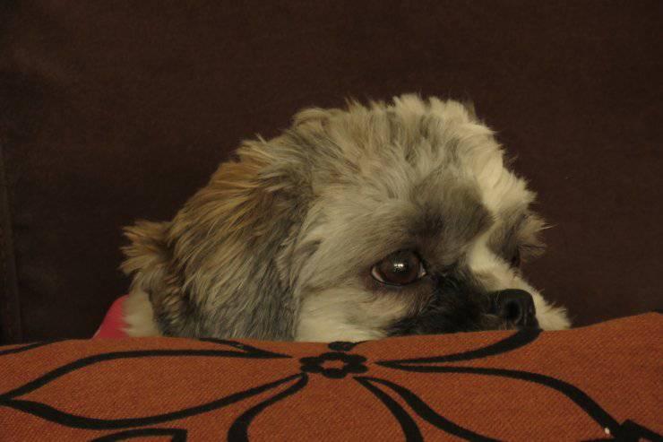 Stitichezza nel cane