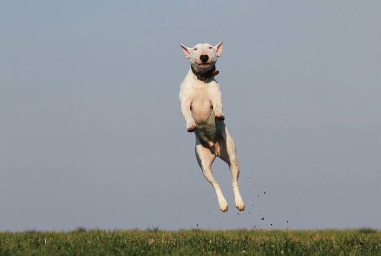 cane salta sempre