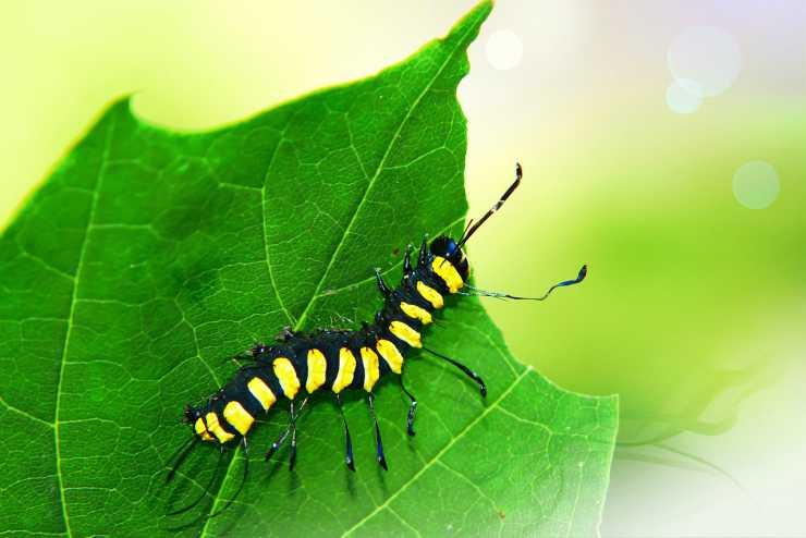 I colori sgargianti delle larve (Foto Pixabay)