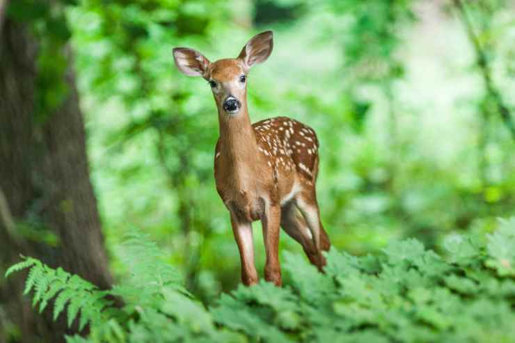 Il cervo nel bosco (Foto Pixabay)