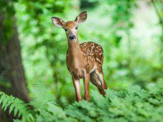 Il cervo nella natura (foto Pixabay)