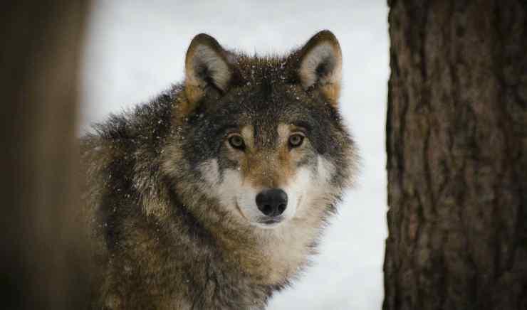 La dolcezza del lupo (Foto Pixabay)