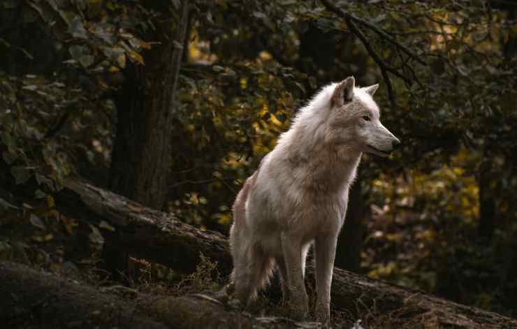 Il fascino del lupo (Foto Pixabay)