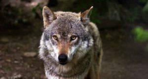 Il lupo in primo piano (Foto Pixabay)