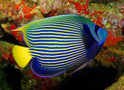 pesce angelo righe