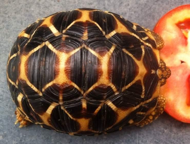 tartaruga mangia pomodoro
