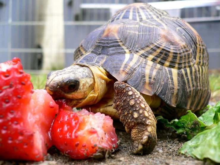 tartaruga mangia frutta