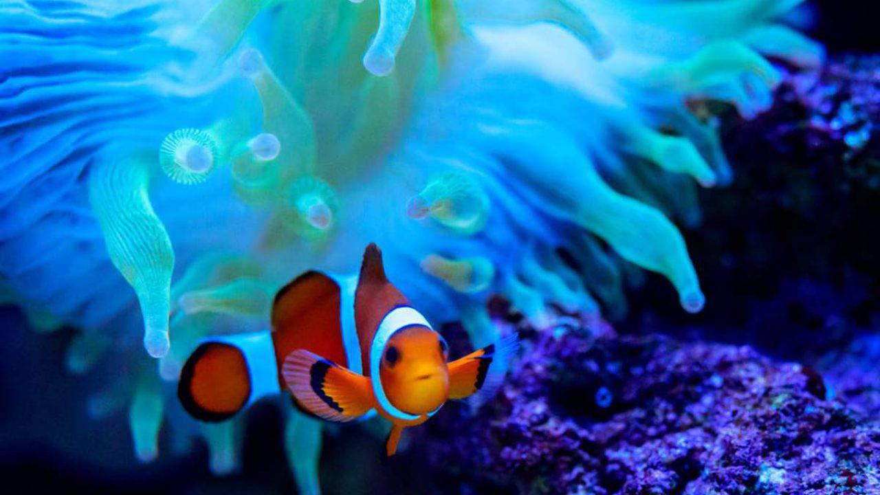 Dove Vive Il Pesce Pagliaccio.Pesce Pagliaccio Curiosita E Fatti Poco Noti Sul Pesce Nemo