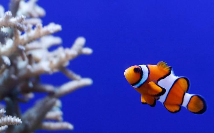 pesce pagliaccio anemone