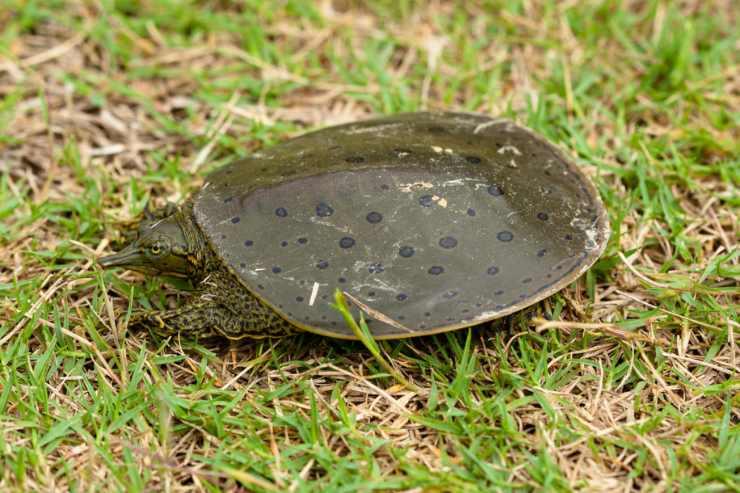 quanto veloce tartaruga
