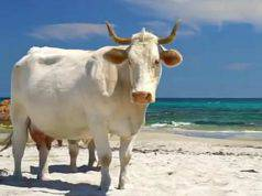 La mucca sulla spiaggia (Foto video)