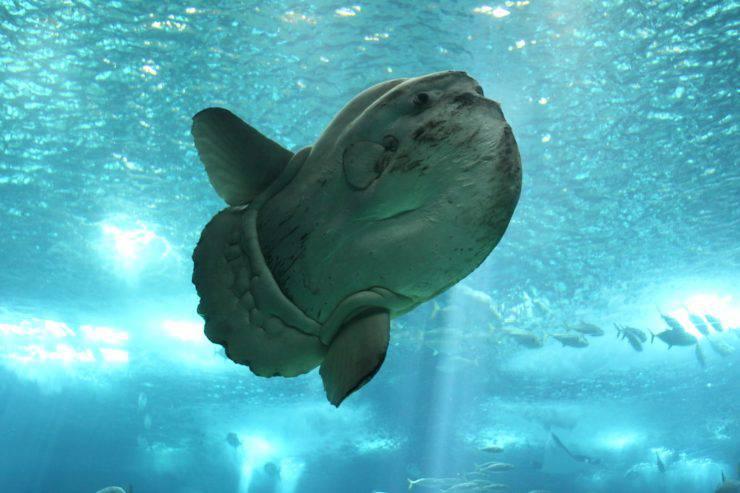 pesce luna sunfish