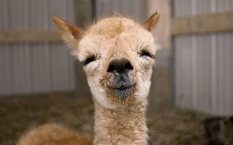 alpaca camelide sudamerica