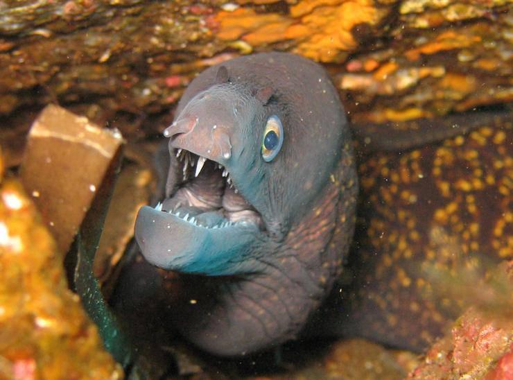 pesce murena anguilla