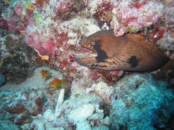 pesce murena scogliera