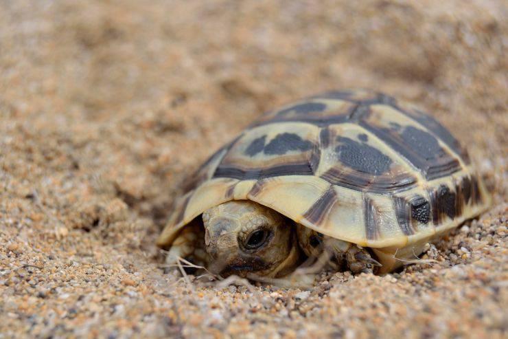 tartaruga guscio malattie