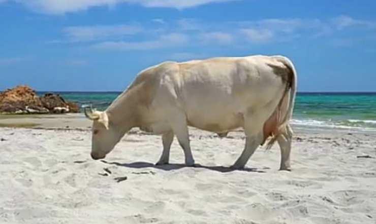 La mucca osserva la sabbia (Foto video)