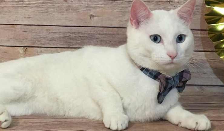 Blue il gatto dallo sguardo magnetico (Foto Facebook)