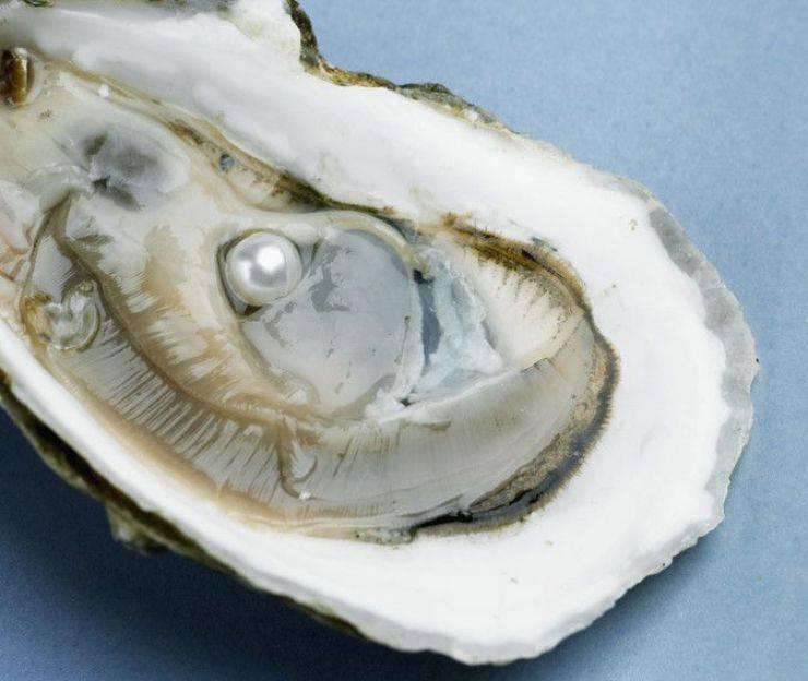 ostrica mollusco perla