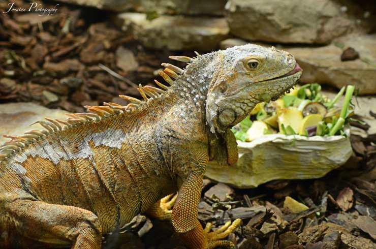 alimentazione iguana dieta