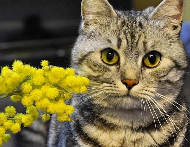 gatto mimosa