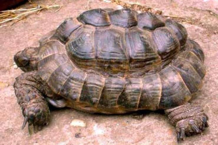 piramidismo della tartaruga
