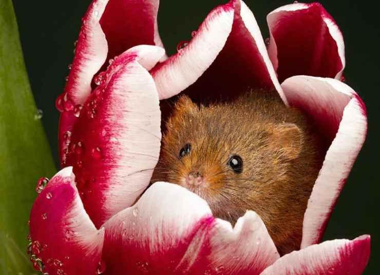 Il topo nel fiore rosso (Foto Facebook)