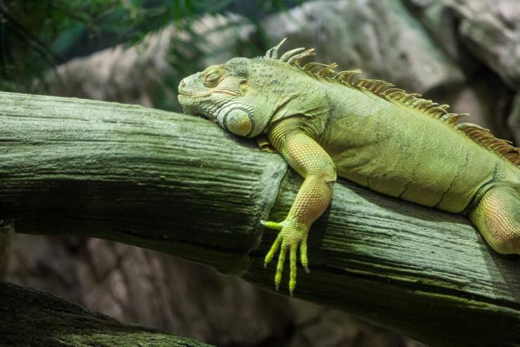 alimentazione dieta iguana può mangiare carne