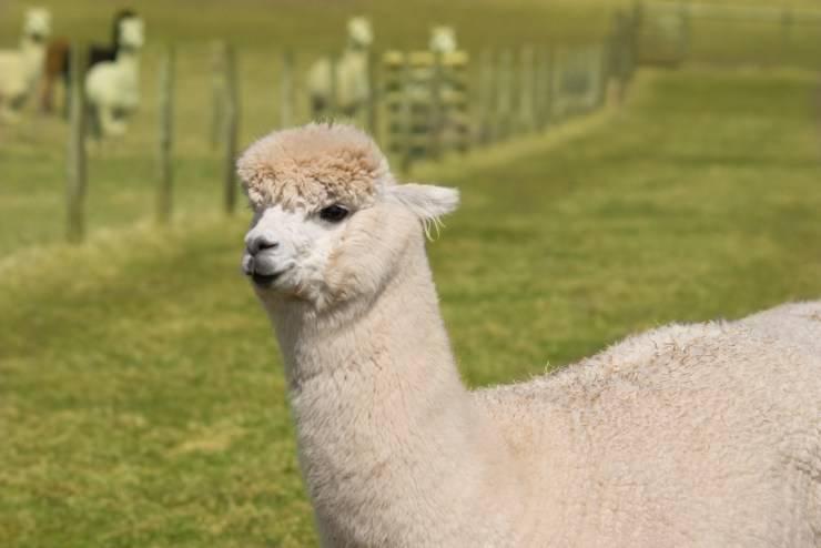 alpaca allevamento lama