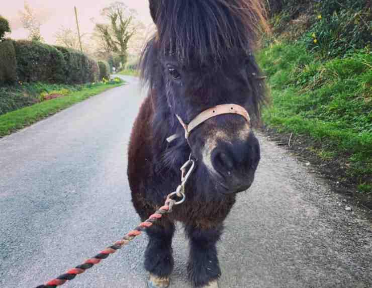 Il pony aiutante (Foto facebook)