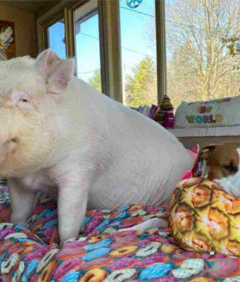 Il maiale e il cane (Foto Facebook)